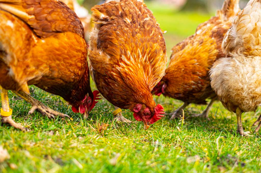 Glückshühner am Picken